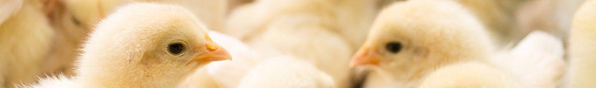 ベルバード 孵卵器ブログ